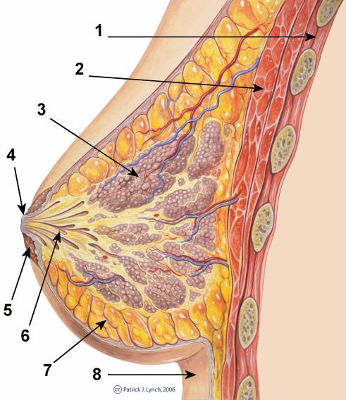 Breast_anatomy_normal_scheme